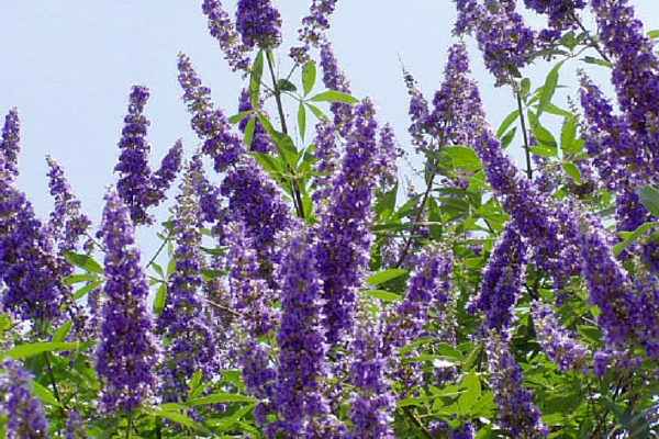 Is Vitex the key to getting pregnant naturally?
