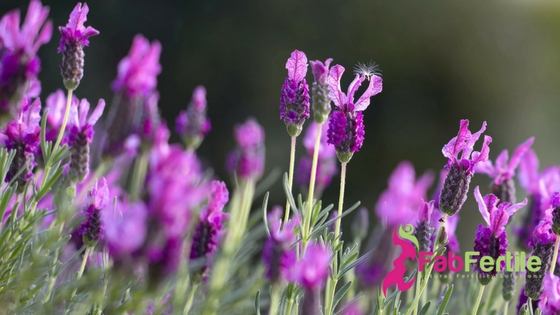 Fertility Essential Oils: Lavender