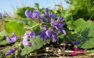 Fertility Essential Oils:  Clary Sage